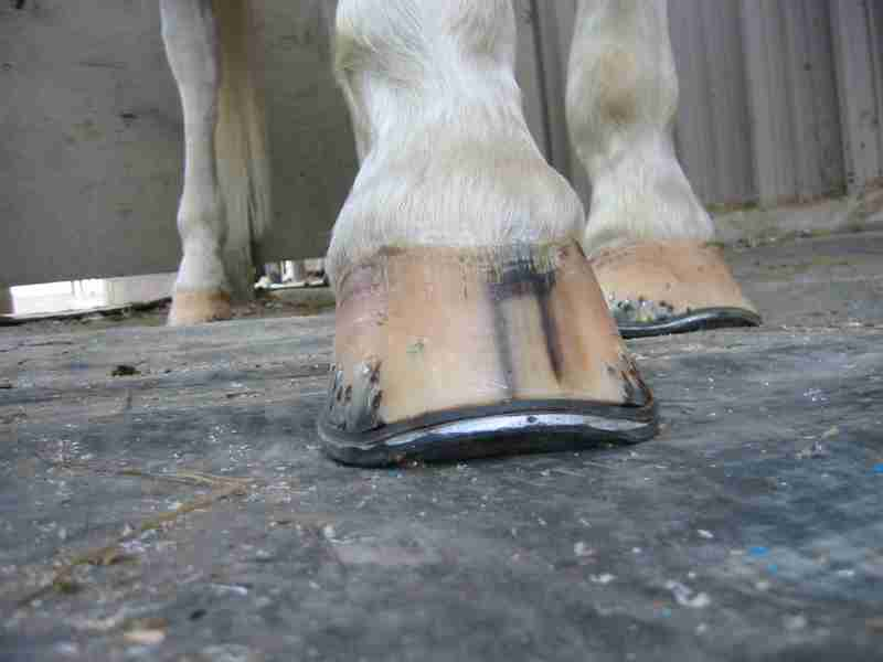 Applying A Rocker Toe Shoe Is Healthier Way To Move Breakover Point Back Without Weakening The Hoof Wall